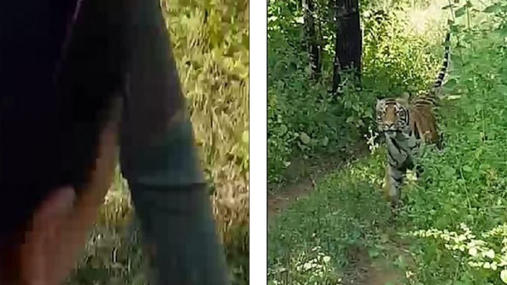#Video Tigre persigue a turistas durante safari. Noticias en tiempo real