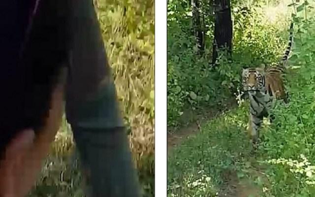 #Video Tigre persigue a turistas durante safari