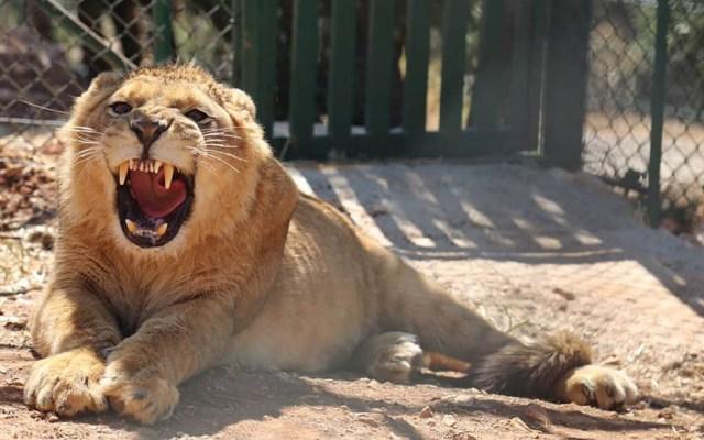 Dan segunda oportunidad a animales abandonados en medio de la guerra - León de Al Ma'awa. Foto de @AlMawaJordan