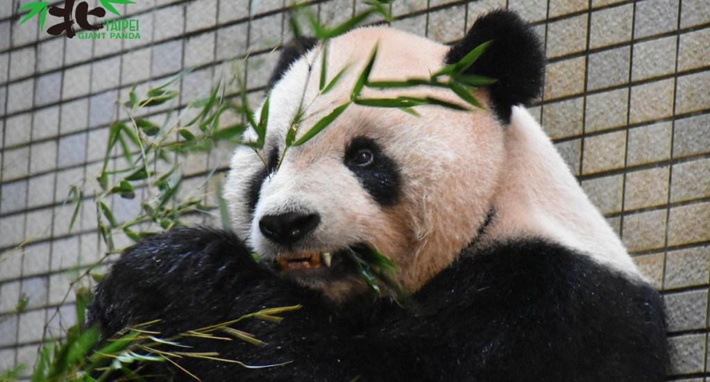 Colocan a panda colmillo de titanio para seguir dieta de bambú - Tuan Tuan fue un regalo de China a Taiwán. Foto de @TaipeiZoo
