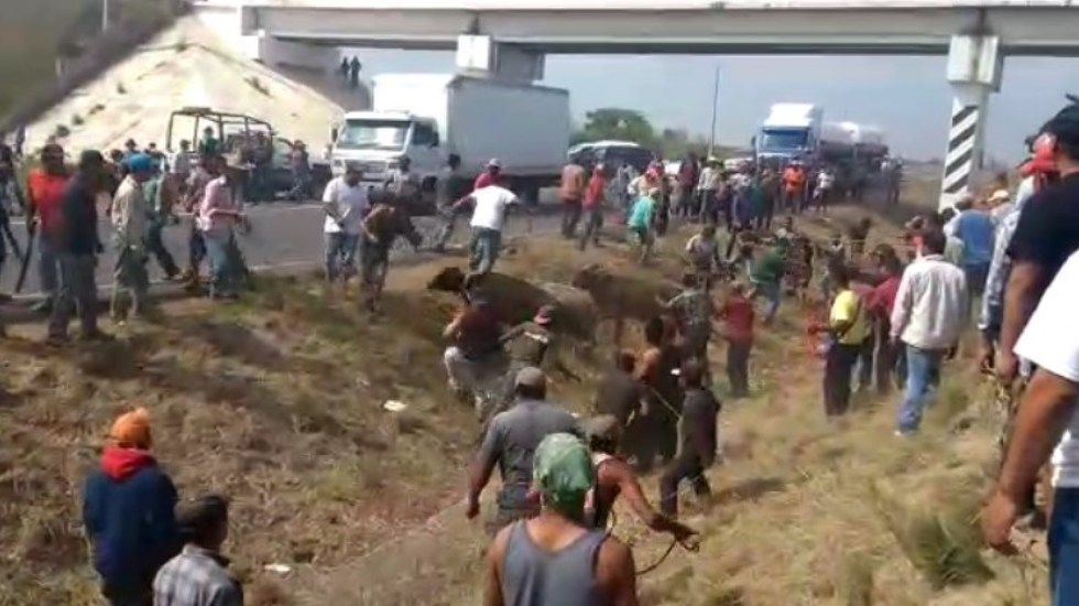 #Video Pobladores roban ganado de tráiler accidentado en Veracruz - Captura de pantalla