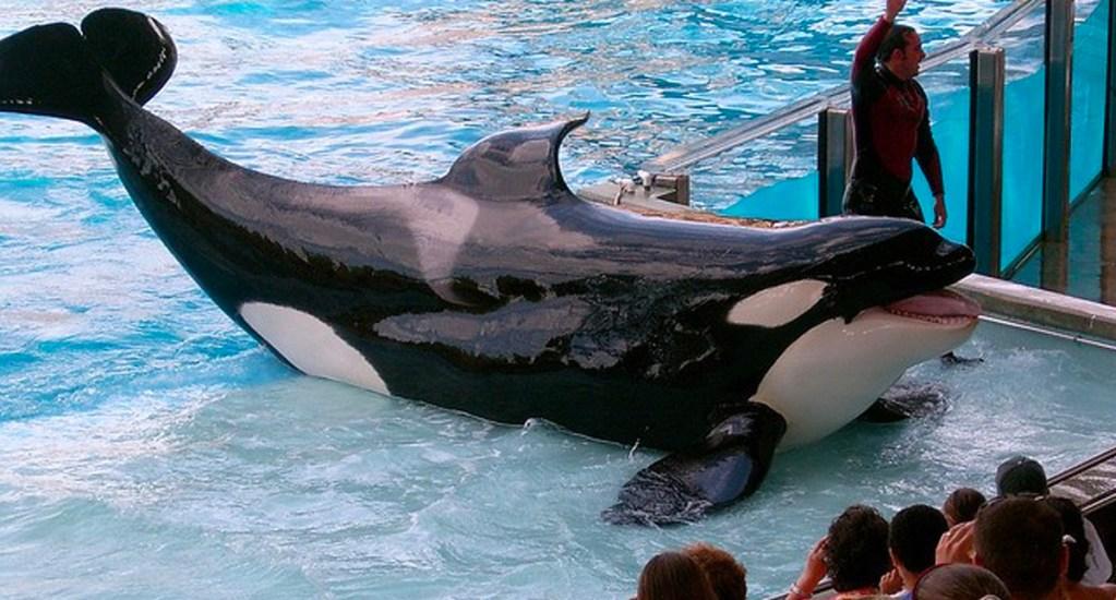 Muere la orca Kayla a los 30 años en el SeaWorld de Orlando - Foto de Internet