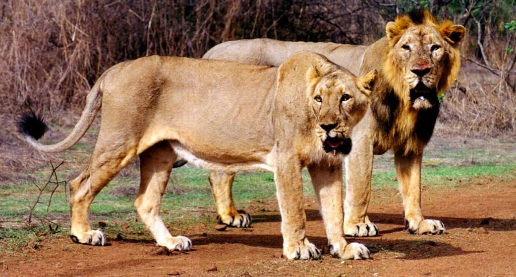 Leones asiáticos matan a hombre en zoológico de India - Foto de Internet