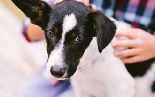 Los perros mestizos son los favoritos de los mexicanos - Perro mestizo. Foto de Internet