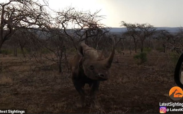 #Video Rinoceronte embiste automóvil en Sudáfrica - Foto de Internet
