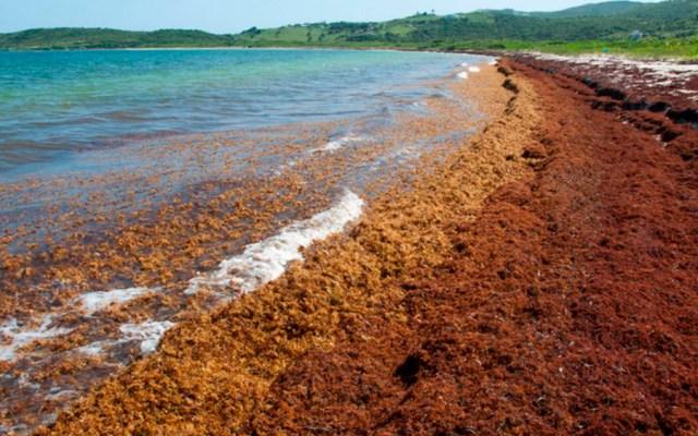 Semar debe informar sobre investigación para manejo de sargazo - Foto de UNAMsargazo
