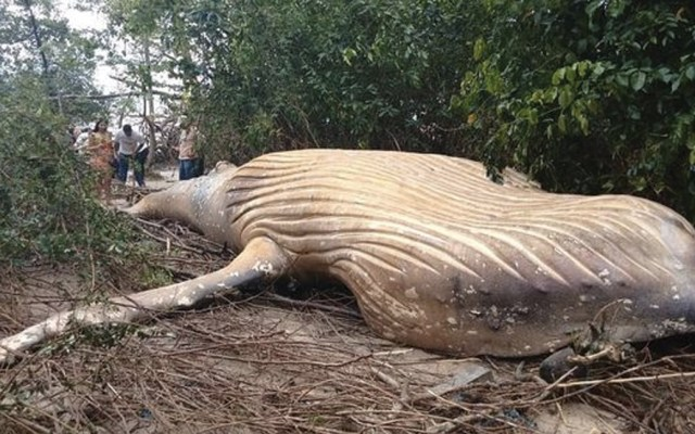 Encuentran muerta a ballena jorobada en selva de Brasil - Foto de SEEMA- FocusOn News