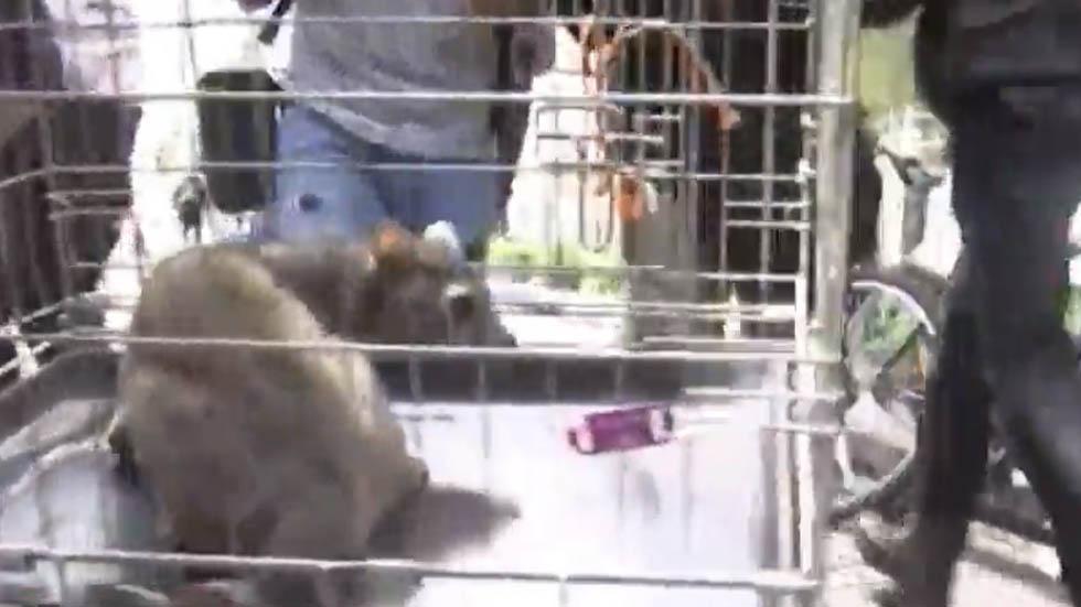 El cacomixtle fue trasladado a las instalaciones de la Brigada Animal de la CDMX. Captura de pantalla