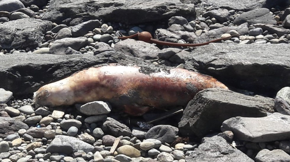 Profepa encuentra lobo marino varado en Ensenada - Foto de Profepa