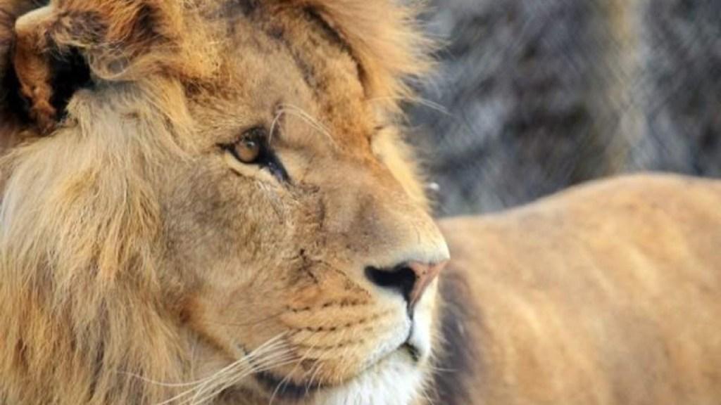 León asesinado por su manada en zoológico del Reino Unido - Leonas matan a león en zoológico del reino unido