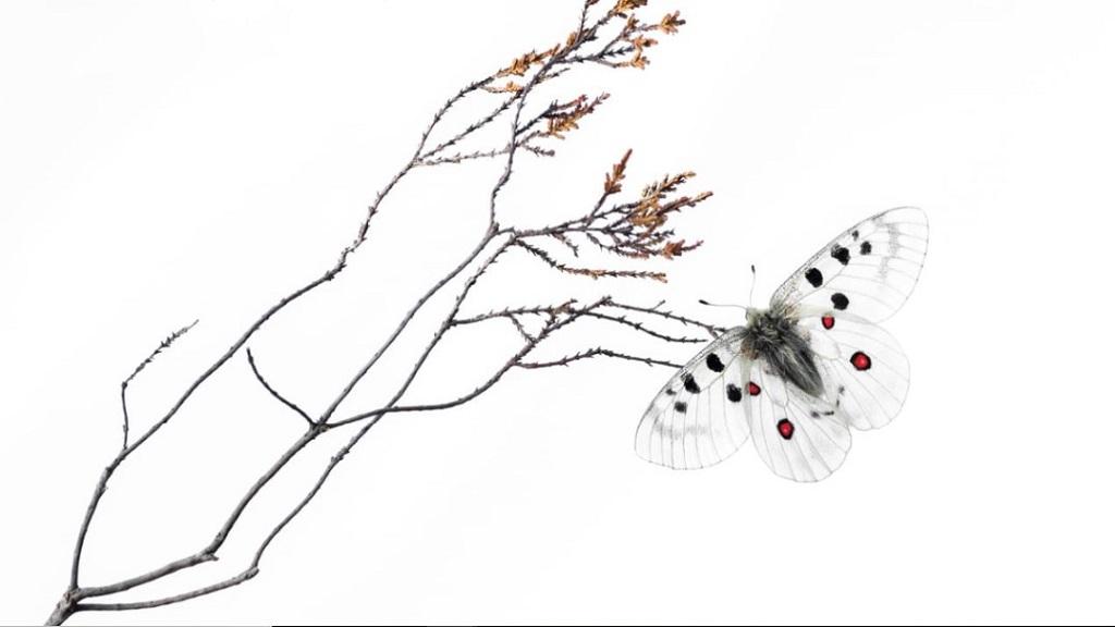 Mariposa apolo de montaña calentándose en un brezal en Finlandia. Foto de Stefan Gerrits