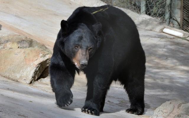 """Oso negro se integra al Centro Ecológico de Sonora - El oso negro llamado """"Chuku"""", procedente del zoológico de Sahuatoba, Durango, se encuentra en exhibición en el Centro Ecológico de Sonora luego de cumplir con el proceso de adaptación. Foto de Notimex"""