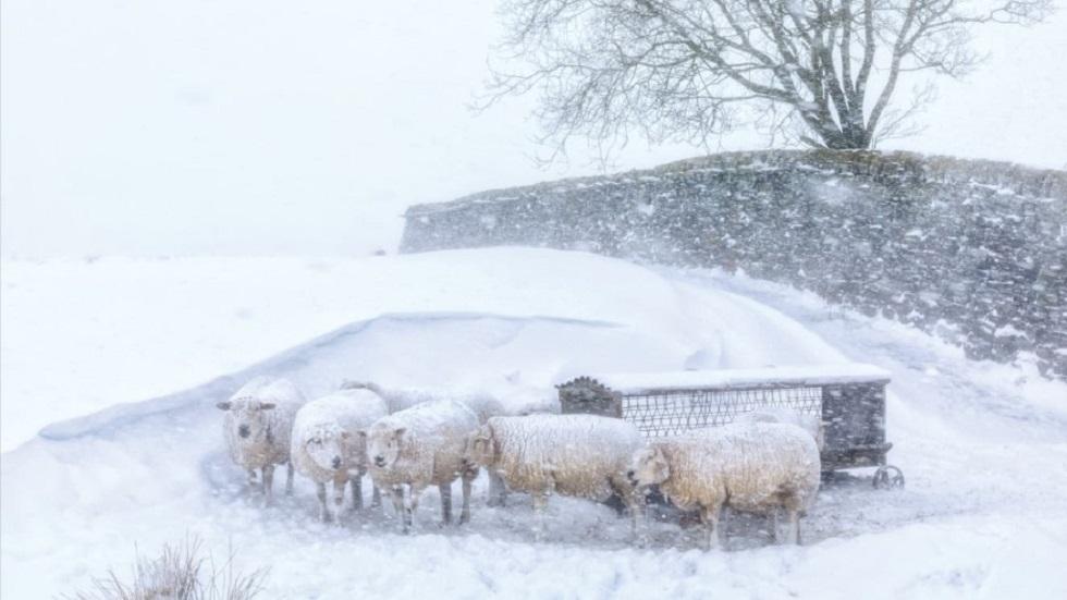 Manada de ovejas acurrucadas en una tormenta de nieve, en la región de Pennines del Sur, Inglaterra. Foto de Robert Birkby