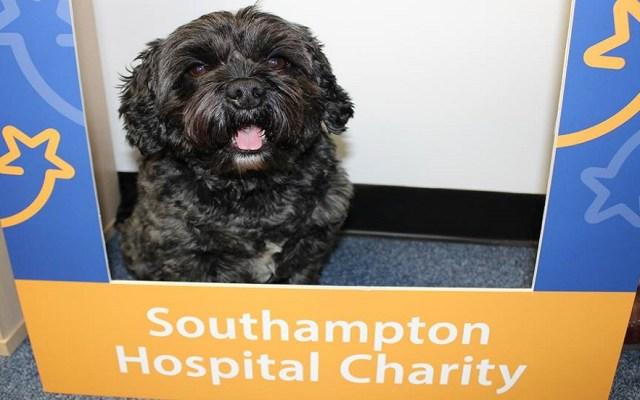 Perro se convierte en héroe tras despertar del coma a su dueño - Teddy se convirtió en perro de terapia del Hospital Southampton de Reino Unido. Foto de @SouthamptonHospitalCharityUK