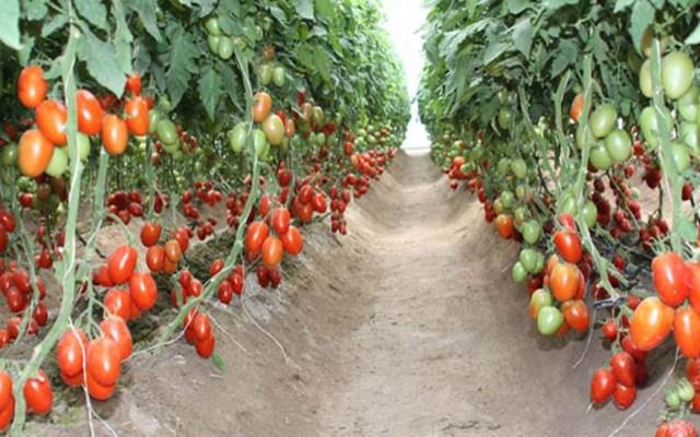 Gobierno de México apoya a productores de tomate ante negociaciones - Hortalizas de jitomate en México. Foto de Edomex Informa