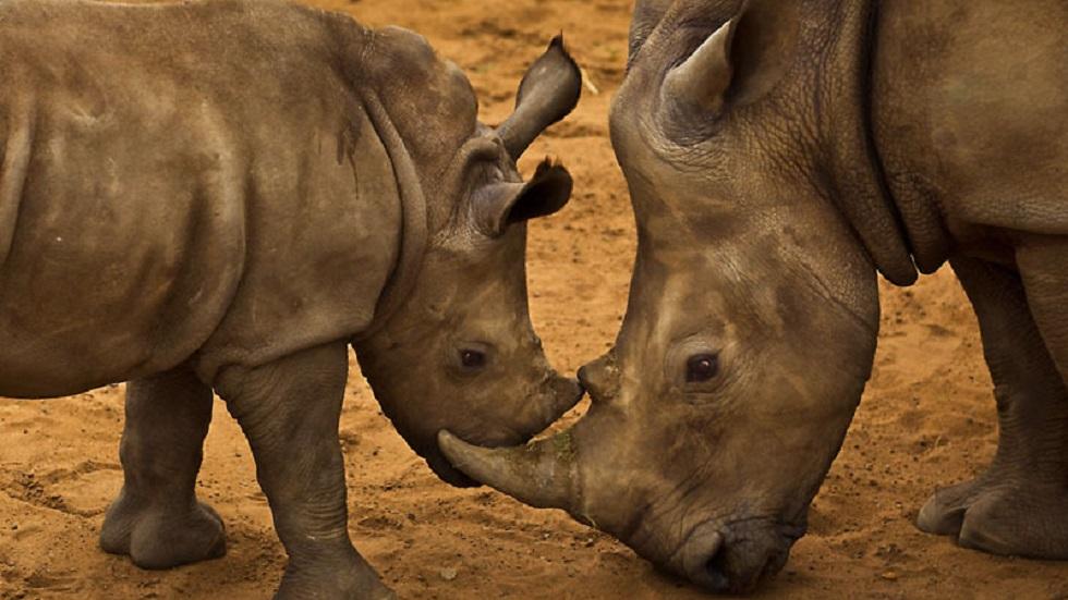 Acusan a WWF de financiar 'violentas fuerzas paramilitares' - Rinoceronte blanco con su madre. Foto de WWF