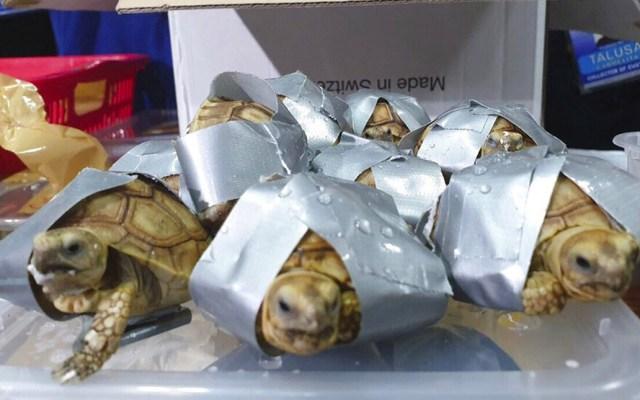 Decomisan a más de mil 500 tortugas exóticas en aeropuerto de Filipinas - Foto de AP
