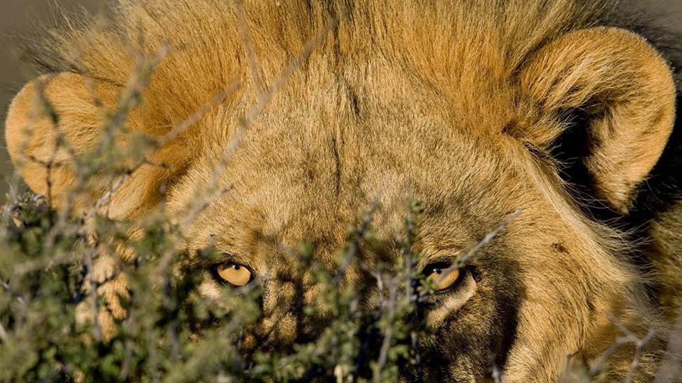 Elefante mata a cazador furtivo y leones se lo comen - León al acecho en Parque Nacional Kruger. Foto de @krugerpark.co.za
