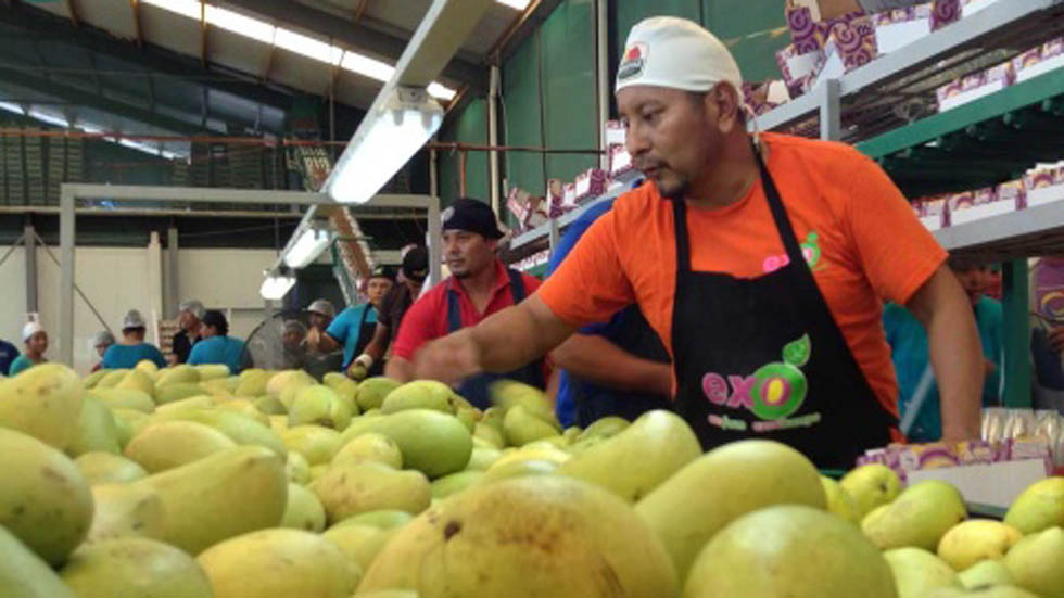 Productores de mango en Oaxaca. Foto de Excélsior