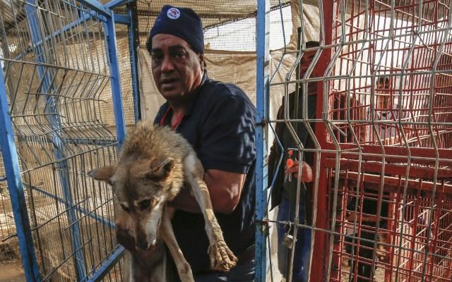Evacuan a animales de Zoológico de Gaza - Veterinarios de Four Paws cargaron a los animales para ingresarlos a jaulas especiales para su traslado. Foto de AFP / Said Khatib