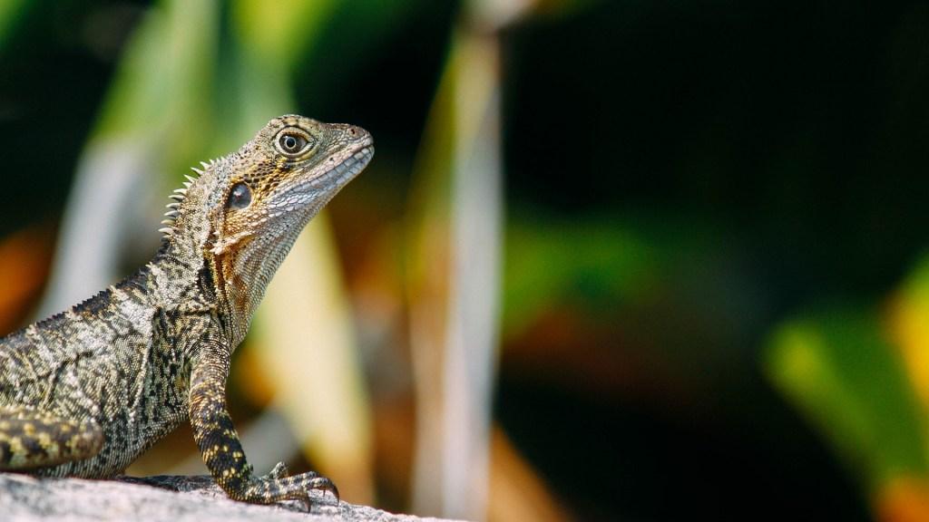 Cambio climático amenaza de extinción a un millón de especies - Dragón barbudo. Foto de Liam Edwards / Unsplash