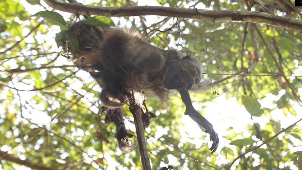 En Chacarral, Veracruz, habitaban alrededor de 30 monos aulladores. Foto Especial / Milenio