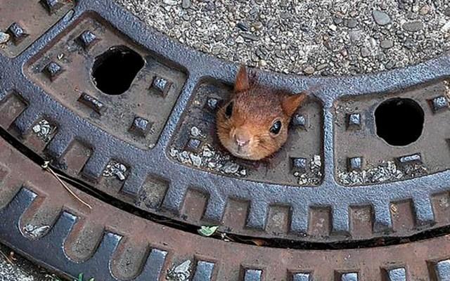 Rescatan a ardilla tras quedar atascada en alcantarilla - ardilla