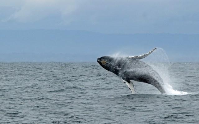 Japón reanudará caza legal de ballenas en julio - Foto de Ilse Orsel @lgtts