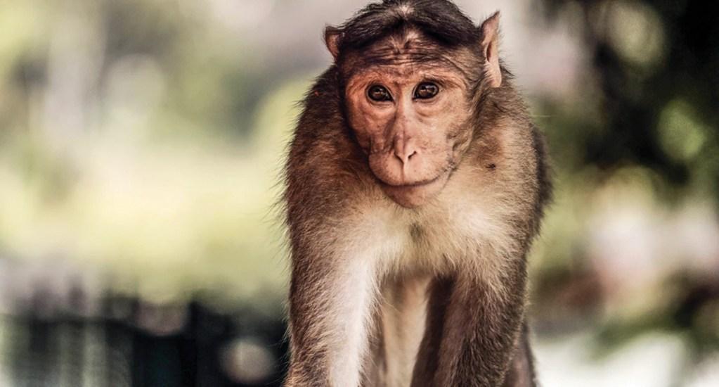 Monos podrían extinguirse en 2050 - Foto de Shashank Sahay @shashanksahay