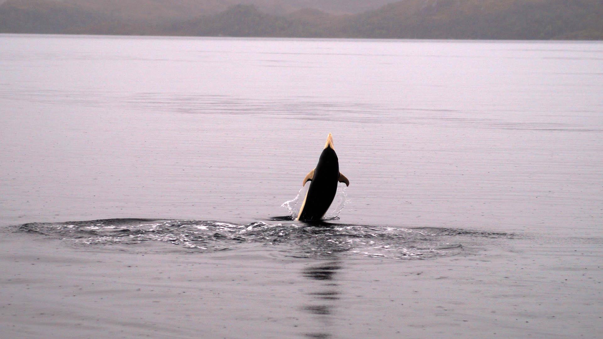 Fotografían por primera vez al exótico delfín liso, en Chile