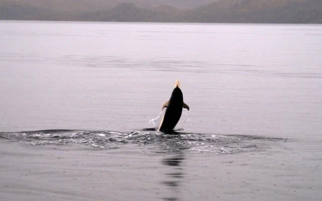 Avistan por primera vez delfines lisos en el estrecho de Magallanes - Delfines lisos estrecho Magallanes delfín liso