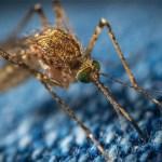 Se eleva a 40 el número de muertes por dengue grave en Honduras en 2019 - Mosquito dengue mosco