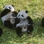 Pandas gemelos podrían ser clave en la supervivencia de su especie - Foto de AFP
