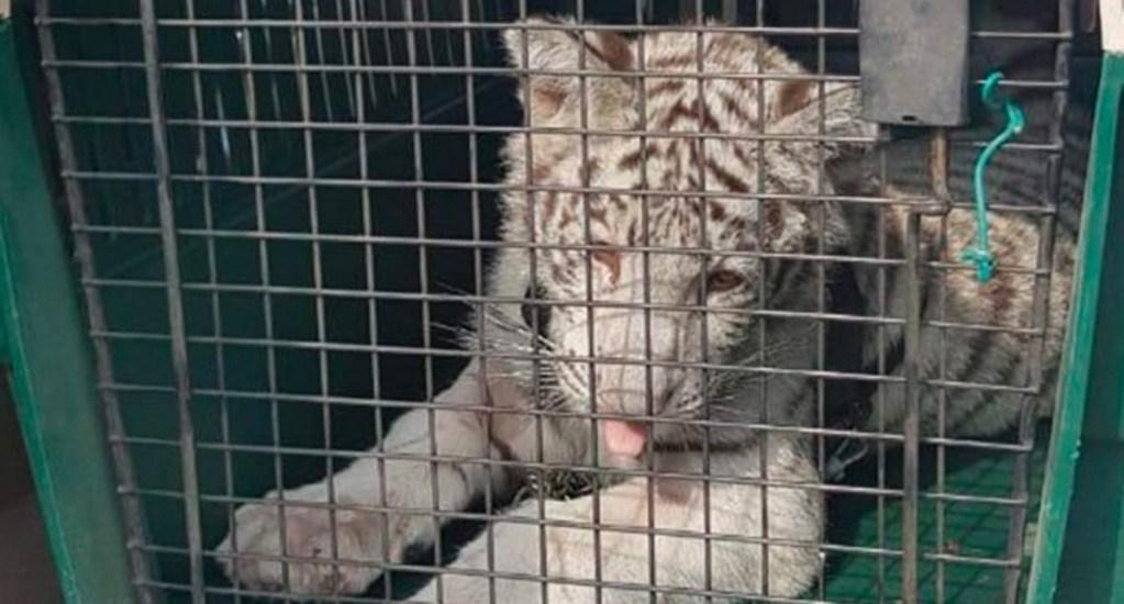 Aseguran un cachorro de tigre blanco en domicilio de Veracruz - tigre