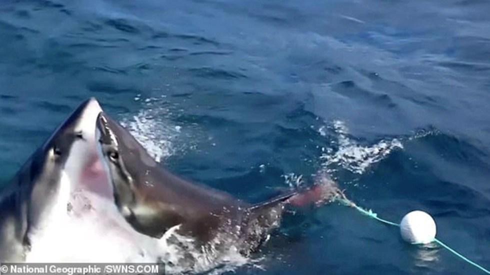 #Video Tiburón ataca y se come a otro en Australia - Foto de National Geographic/SWNS.com