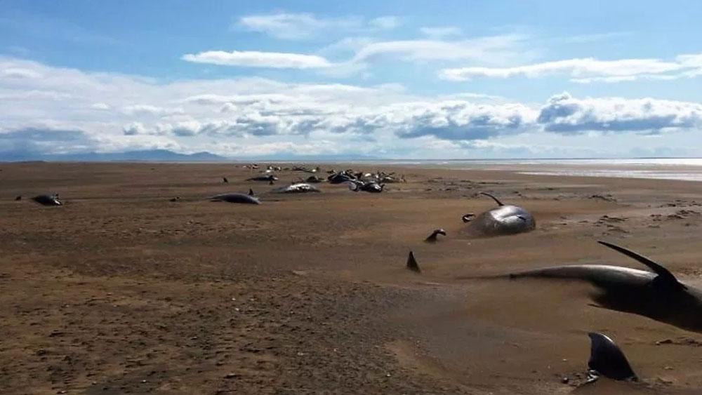 Encuentran 50 ballenas piloto muertas en playa de Islandia