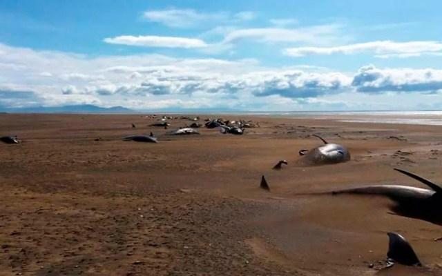 Hallan 50 ballenas muertas en playa de Islandia - ballenas Islandia