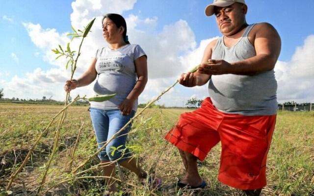 Indocumentados agrícolas de Florida están en alerta ante redadas masivas - Trabajadores agrícolas en Homestead, Florida. Foto de El Nuevo Herald / Al Díaz