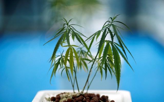 Tailandia inicia el suministro de mariguana medicinal a pacientes con cáncer - Foto: EFE.