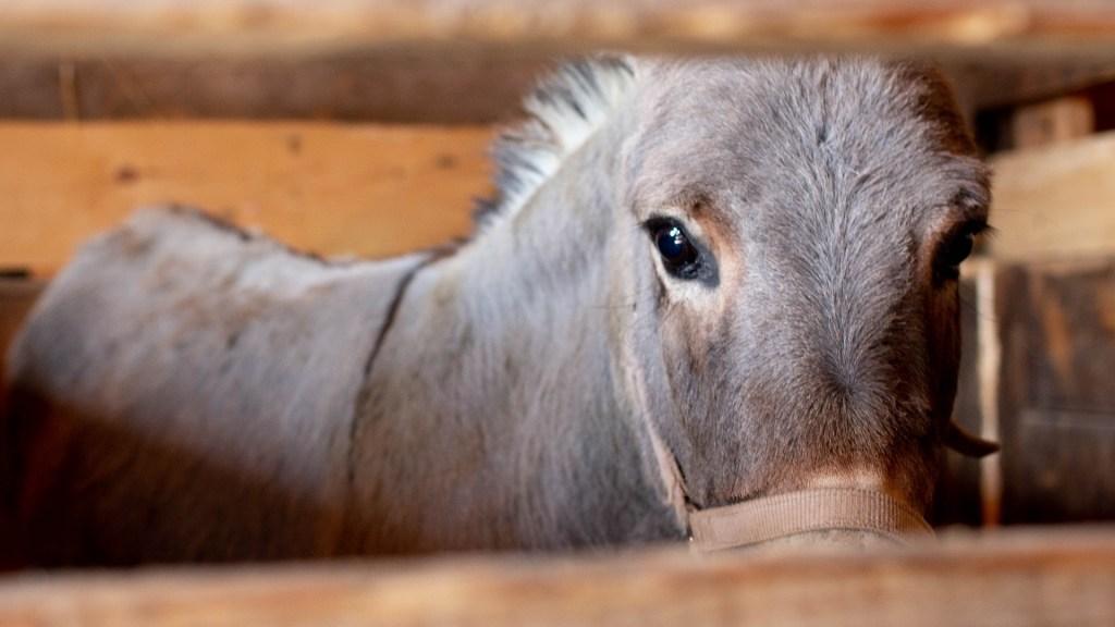 Encarcelan a burro en comunidad de Zimatlán, Oaxaca - Burro animal granja