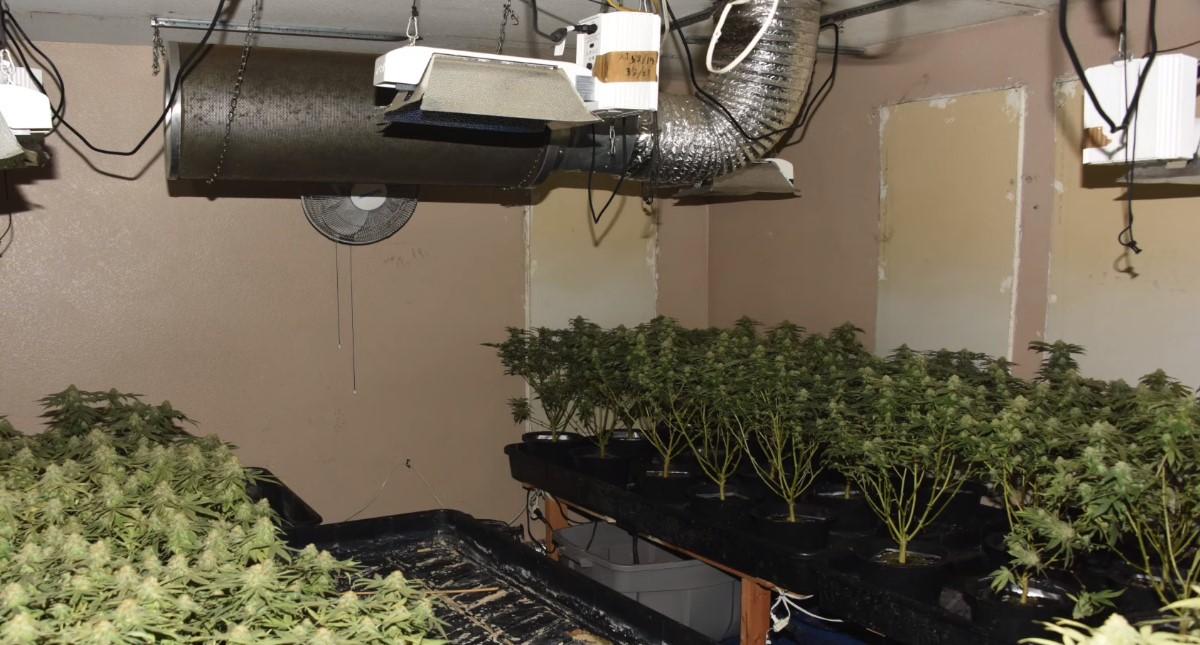 Cultivo de mariguana en casa que cuidaba Li Xi Wang. Foto de Departamento de Policía de Chino, California