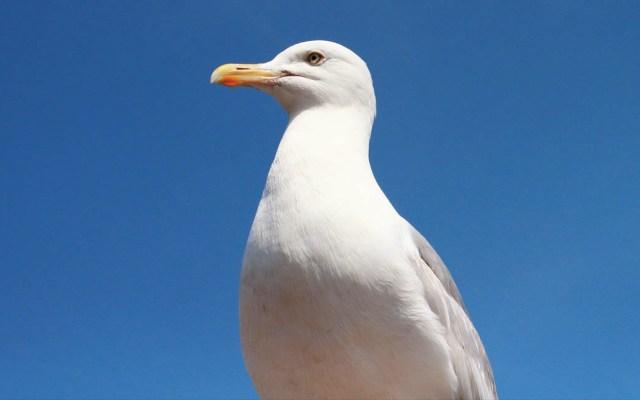 Gaviota roba paquete de droga y salva a presunto traficante en Suecia - Gaviota ave pájaro
