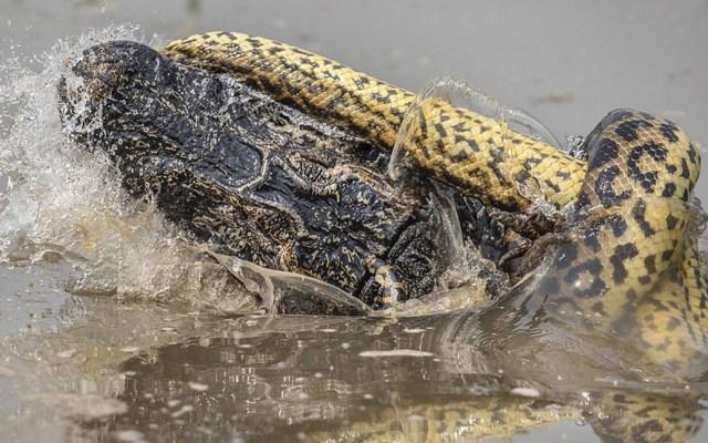 #Video Anaconda ataca a cocodrilo en Brasil - Foto de Kevin Dooley/Daily Mail