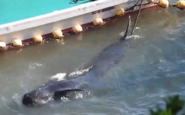 #Video Cazadores arrastran a ballena agonizante en aguas de Japón - Captura de pantalla