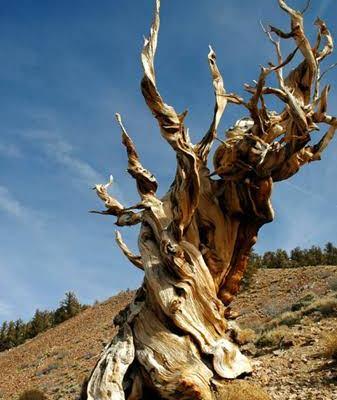 Un árbol llamado Matusalén