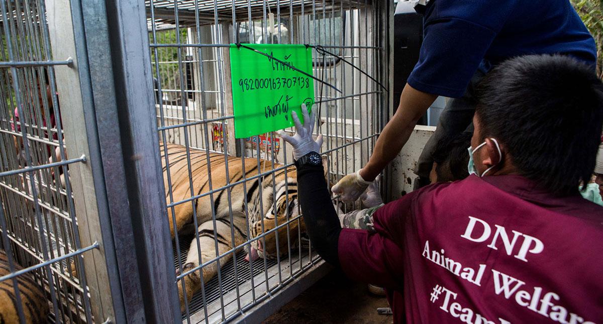 Los 147 felinos fueron trasladados a dos centros gubernamentales, donde murieron numerosos ejemplares. Foto de Al Jazeera
