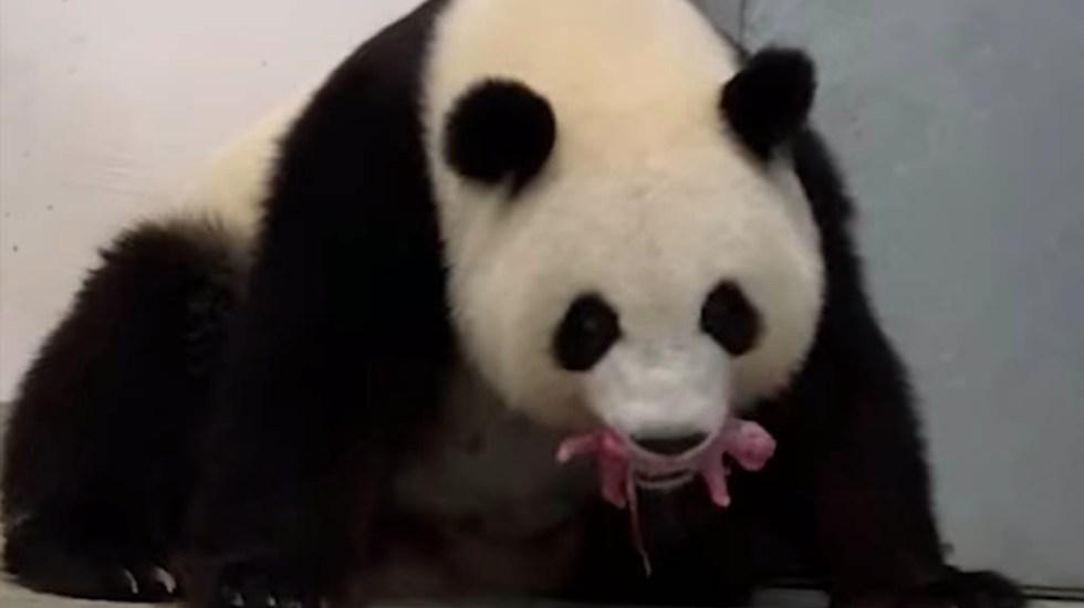 Nacen pandas mellizos en el Zoológico de Berlín - Pandas Zoológico Berlín animales