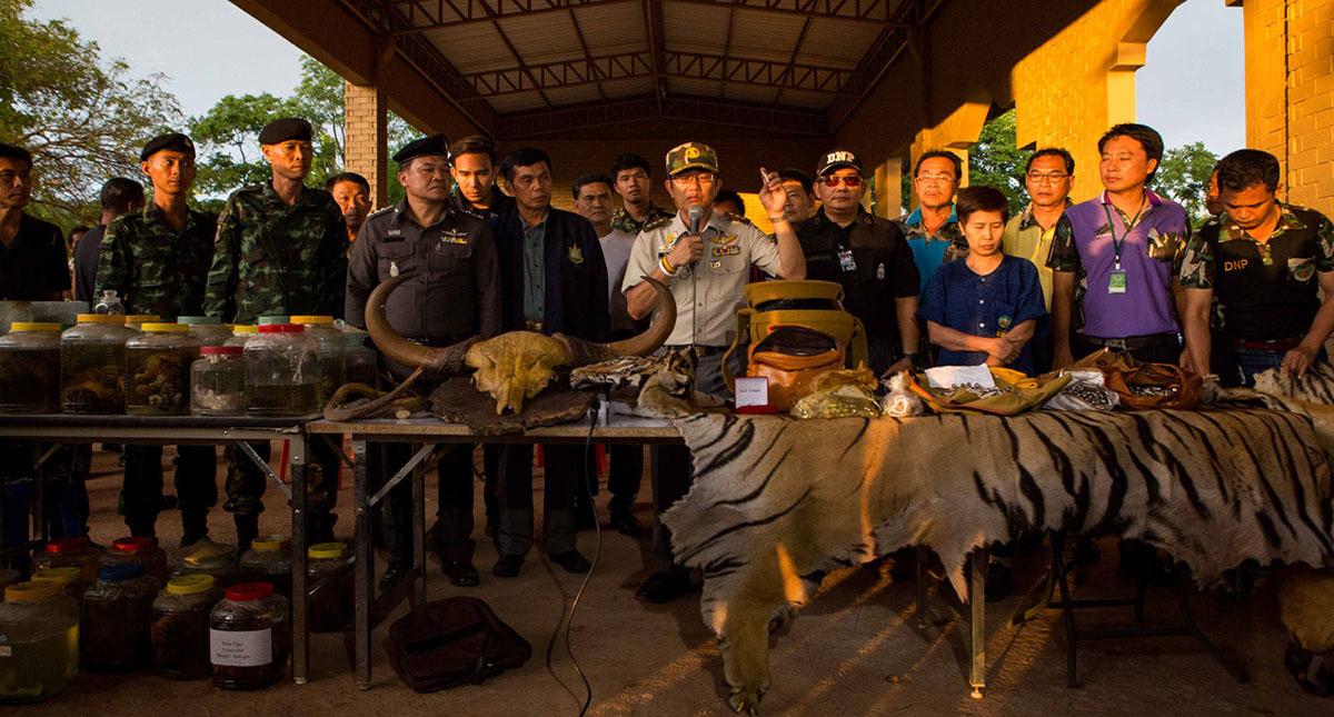 Autoridades de Tailandia hallaron pieles, colmillos y cachorros preservados en formaldehído dentro del templo budista. Foto de Al Jazeera