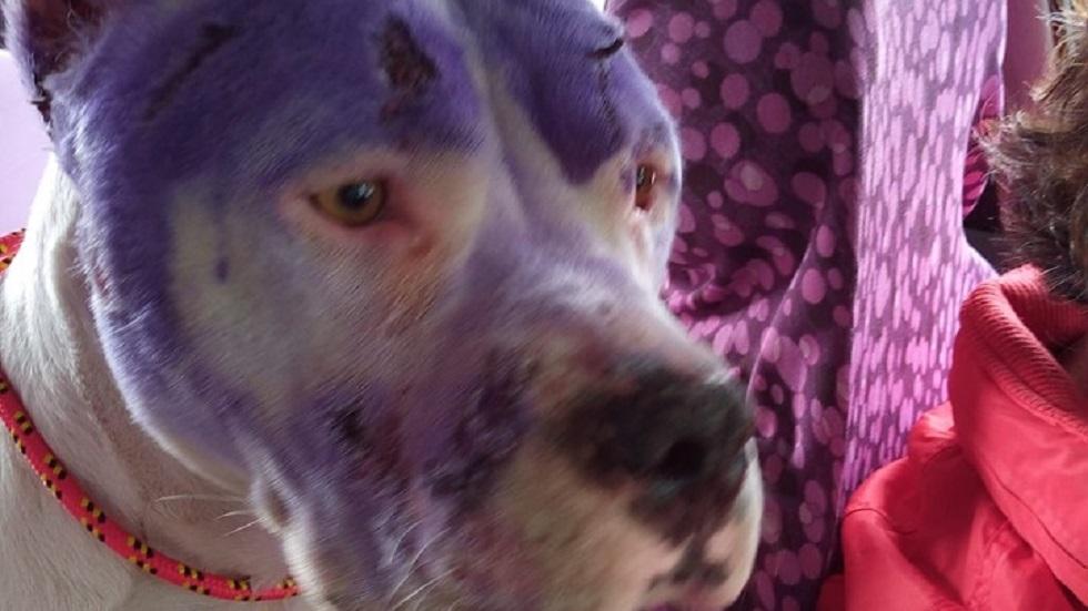 Rescatan a pitbull maltratada en Iztapalapa - Perrita Merry. Foto de Corazones Callejeros A.C.