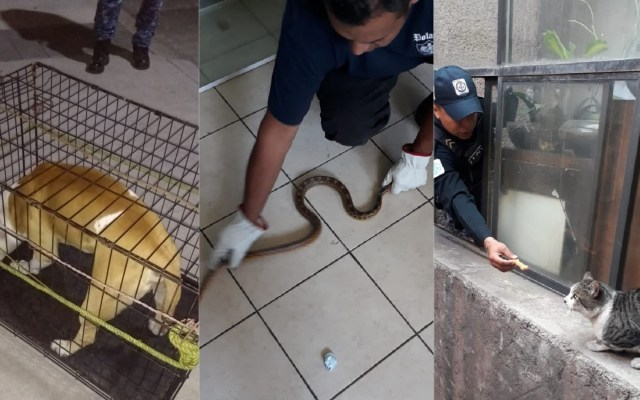 Brigada de Vigilancia Animal auxilia a doce mascotas en la CDMX - Rescates de la Brigada de Vigilancia Animal de la SSC-CDMX. Foto de @SSP_CDMX